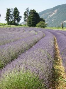 Lavendel Drôme